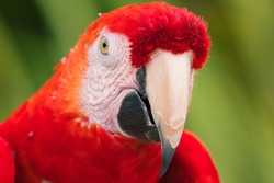 A CLOSE UP FACIAL SHOT OF A RED MCCAW WITH A BRIGHT EYE AND GREEN BOKEN