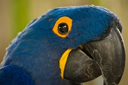 A CLOSE UP OF A BLUE MCCAW WITH A LARGE BLACK EYE TRIMMED IN YELLOW