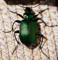 a close up of a green beettle. Green june beetle