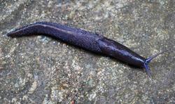 A closeup of Slug. The Spanish Slug (Arion vulgaris), sometimes called the killer slug, on a sandy road.