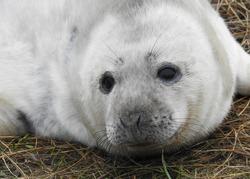 A closeup portrait of a Grey Seal pup at Donna Nook