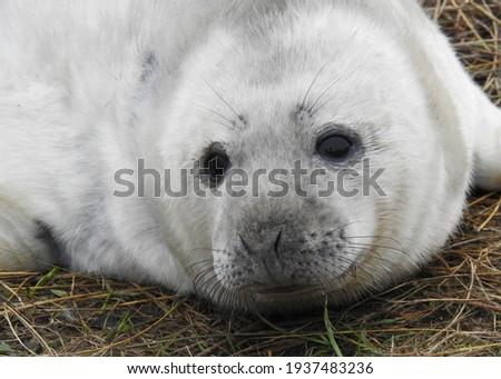 A closeup portrait of a Grey Seal pup at Donna Nook Foto d'archivio ©