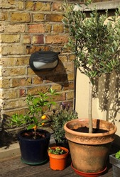 A corner in a patio with olive tree, lavender, citrus tree.