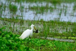 A crane catching a frog in the padyfileds of kuttanad. hunting of stork