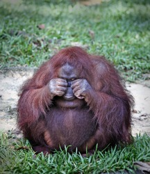 A cute adult Borneon Orangutan which is scientifically known as Pongo pygmaeus doing a funny face in a green habitat.
