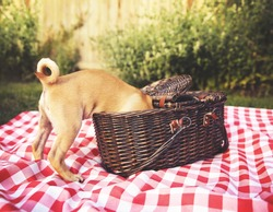 a cute baby pug chihuahua mix puppy looking into a wicker picnic basket and licking her face during summer maybe on the 4th of july holiday toned with a retro vintage instagram filter app or action