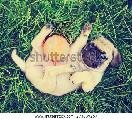 a cute baby pug chihuahua mix puppy playing with an orange tennis ball in the grassy clover during summer toned with a retro vintage instagram filter app or action effect #293639267