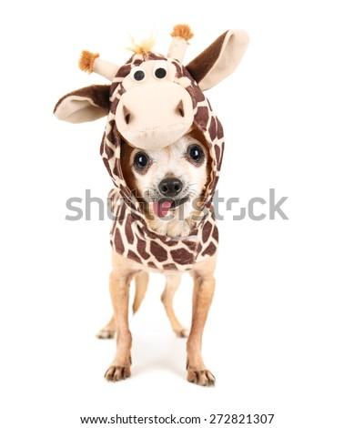 a cute chihuahua in a giraffe costume isolated on a white background studio shot portrait