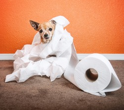 a cute chihuahua playing in a roll of toilet paper