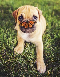 a cute chihuahua pug mix puppy (chug) looking at the camera with grass in his mouth and a butterfly on his nose in a backyard during summer toned with a retro vintage instagram filter app or action