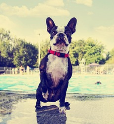 a cute dog at a local public pool done with a retro vintage instagram filter
