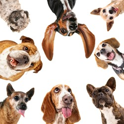 a cute group of dogs taking a selfie on a cell phone camera in a circle isolated on a white background