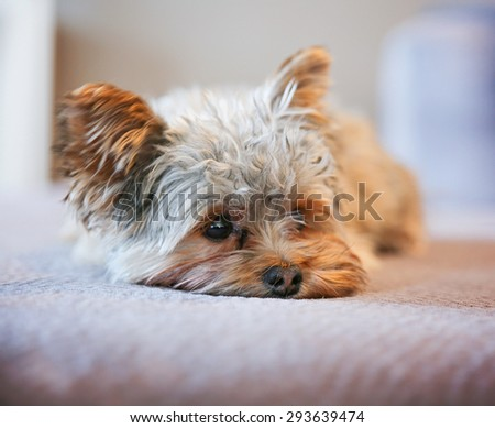a cute yorkshire terrier peeking around while napping on a sofa