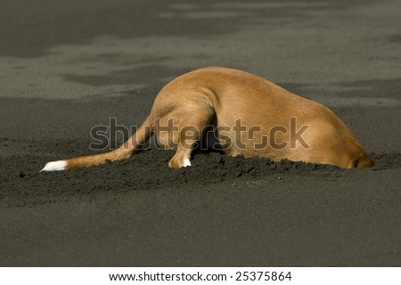 A Dog digs deep into the sand