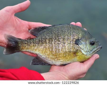A fisherman holding her newly- caught Bluegill Sunfish (Lepomis macrochirus).