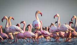 A flamboyance of greater flamingos wading in the water in  golden light at sunset,  salt-pans, Eastern Cape South Africa
