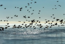 A flock of Canadian geese flying over the glittering surface of Lake Michigan