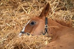 A foal sleeping inside stables