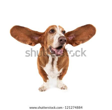 a funny basset hound