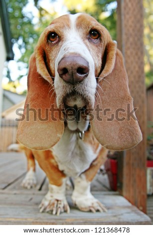 a funny basset hound on a deck