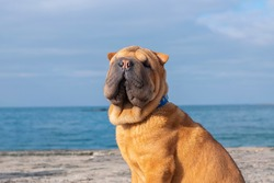 A funny puppy dog ​​of the Shar Pei breed sits on the beach against the background of the sea.
