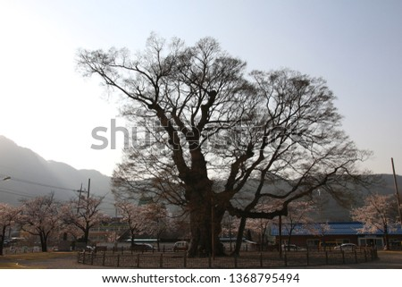 A giant tree that seems to be lonely and lonely