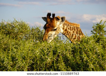 A grazing giraffe at Kruger National Park in South Africa.                     #1110889763