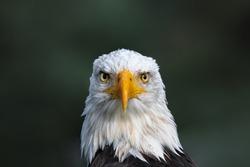 A great portrait of a bald eagle