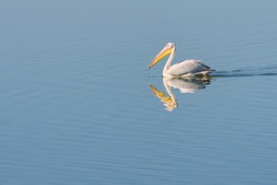 A Great White Pelican swims alone on a lake in the False Bay Nature Reserve in Cape Town, South Africa.