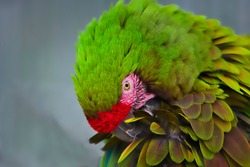 A GREEN AND RED MCCAW WITH RUFFLED FEATHERS AND A BRIGHT EYE AND NICE BOKEN