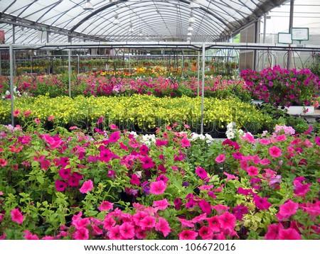 Petunia Petunia Flower Ez Canvas