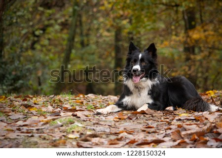 A happy border collie puppy playing in the countryside