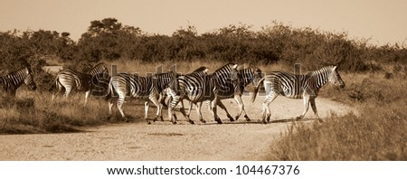 A herd / group of Burchell zebra crossing a road. Taken in monochrome colourless tone for impact.Taken in Addo elephant national park,eastern cape,south africa
