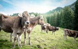 a herd of cows grazes in a lush pasture in the alps