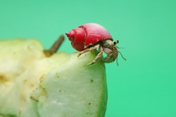A hermit crab (Paguroidea sp) is eating guava fruit.