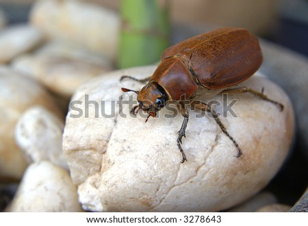 A huge beetle on a rock.