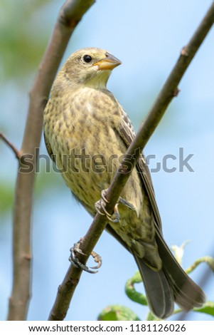 A juvenile brown headed cowbird perches on a tree branch in nice sunlight showing off its feathers and bold black eye and finch like beak.