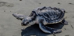 A Kemp's ridley sea turtle being released back into the wild after treatment at the Aquarium for injuries received when a fisherman accidentally hooked him.