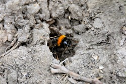 A large bumblebee is looking for pollen in the forest