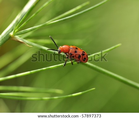 A little red beetle