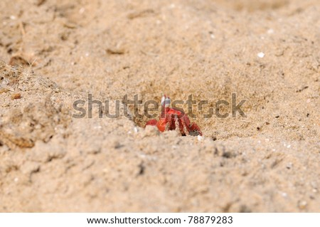 A lonely Fiddler crab defending its Territory