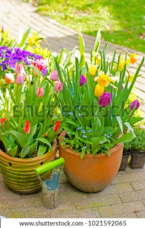 a macro closeup of colorful tulip and daffodil Narcissus early spring bulb flowers in pots in the garden  #1021592065