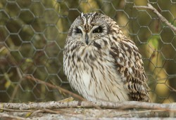 A magnificent wild Short-eared Owl, Asio flammeus, perching on branches in front of a wire fence at the edge of grassland on a cold winters day in the UK.