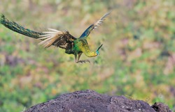 A male peacock is flying onto a rock