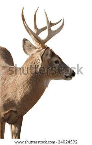 a mature whitetail buck isolated on white background