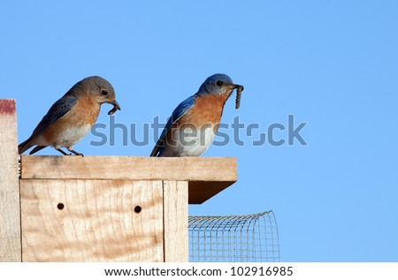 A pair of Eastern Bluebirds sitting on a nesting box and ready to feed the baby birds worms held in their beaks.
