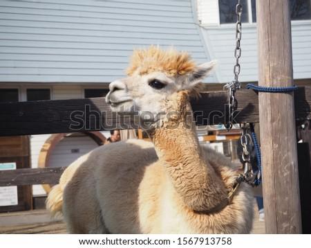 A picture of a cute alpaca