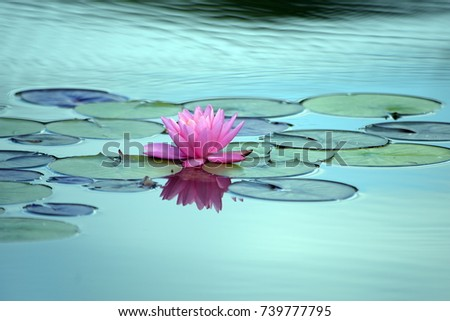 \nA pink water lily, lilies floating on water