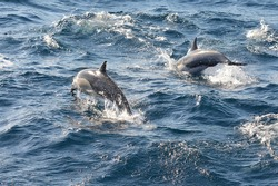 A pod of common dolphins stampeding off the California coastline close to Newport Beach.