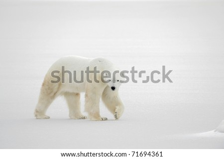 A polar bear going on snow.